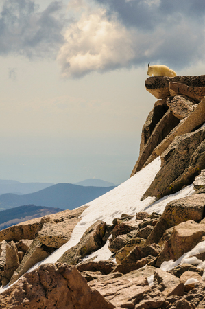 mount evans: Billy goat on top of fourteen thousand foot high Mount Evans in Rocky Mountains overlooking his territory in early summer