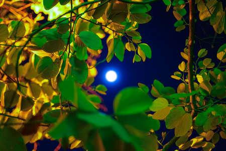 Bauhinia tree and the Moon