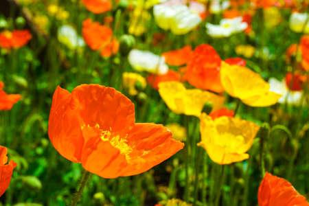 hebei: colorful Flowers Icelandic Poppy