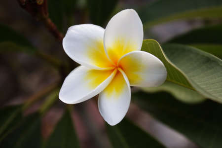 Plumeria alba flowers on blur background photo