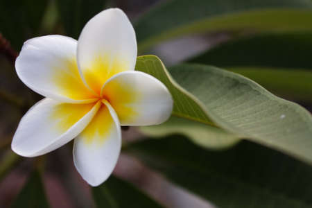 Plumeria alba flowers on blur background Stock Photo - 12939039