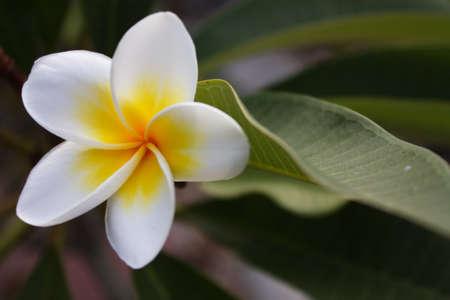 Plumeria alba flowers on blur background photo