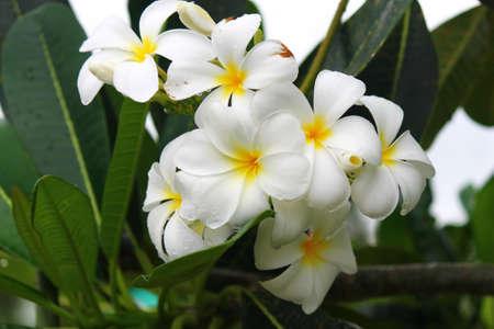 flower leelawadee Stock Photo - 13599840