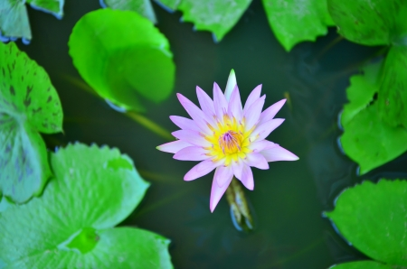 trundle: water lilly
