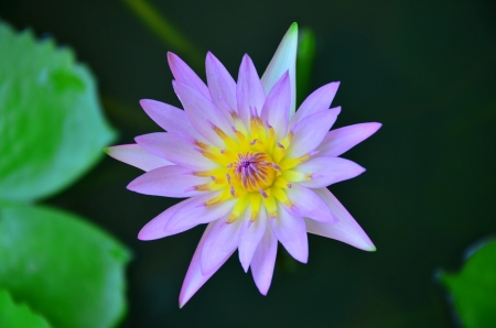 hydrophyte: water lilly
