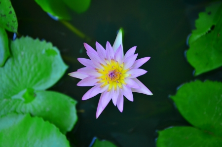 water lilly Stock Photo - 20336386