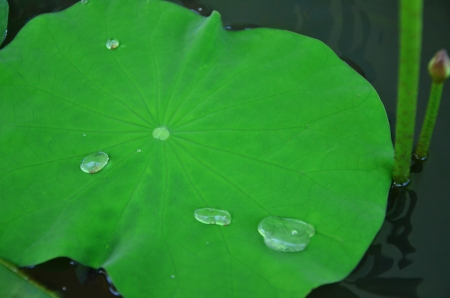 lotus leaf Stock Photo - 20336389