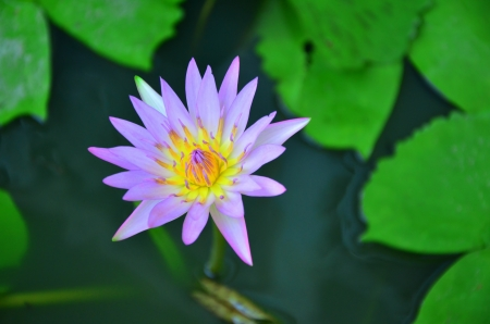 water lilly Stock Photo - 20336388