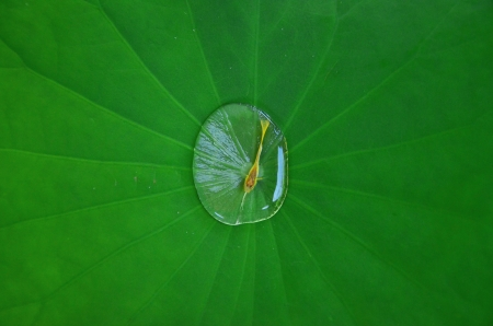 lotus leaf and fish Stock Photo - 20336399