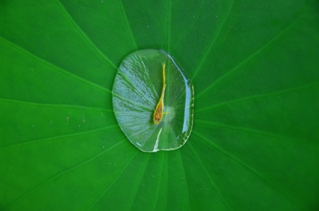 lotus leaf and fish Stock Photo - 20336392