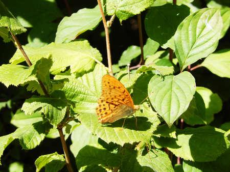swallowtails: Wild Butterfly