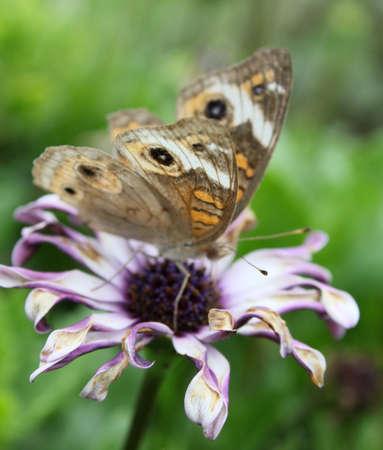 Faded buckeye butterfly on a fading flower. Stock Photo - 11241291