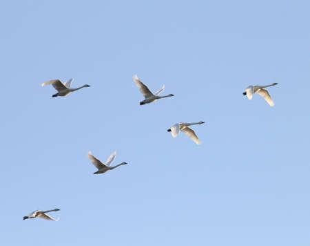 vol d oiseaux: Tundra cygnes qui volent en formation au Twillight.