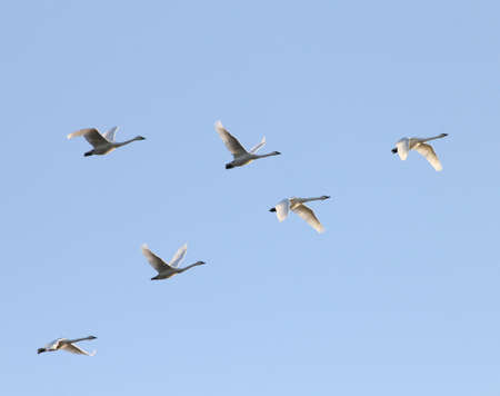 swans: Tundra swans flying in formation at twillight. Stock Photo