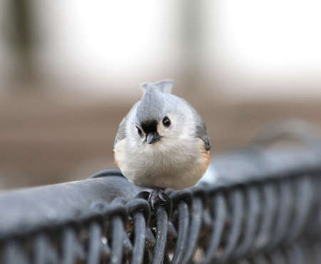 A perky tufted titmouse checking out the camera. Stock Photo - 11241289