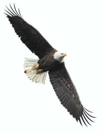 bald eagle: �guila calva en% Conowingo sfne8uMD, EE.UU.. Foto de archivo
