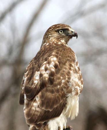 redtail: A hawk looking around.