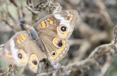 flit: A tattered buckeye butterfly. Stock Photo
