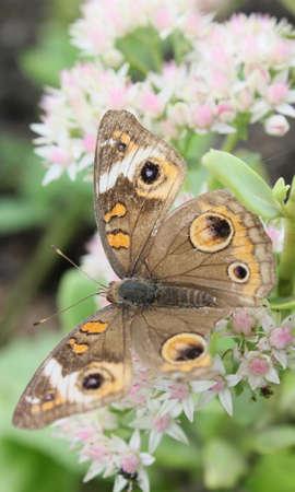 A tattered buckeye butterfly feeding on white flowers.