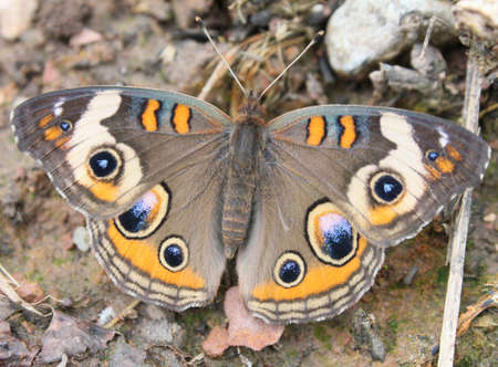flit: Buckeye butterfly resting on the ground. Stock Photo