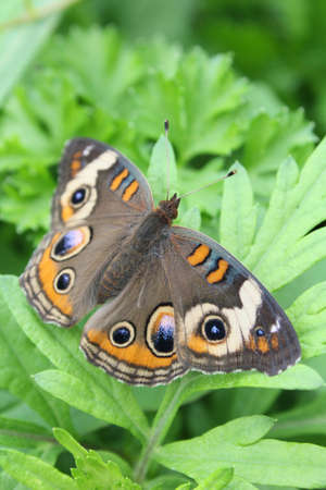 Buckeye butterfly resting on leaves. Stock Photo - 15506296