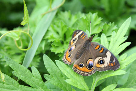 flit: Buckeye butterfly resting on leaves.