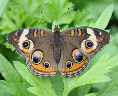 Buckeye butterfly resting on leaves. Stock Photo - 15506269