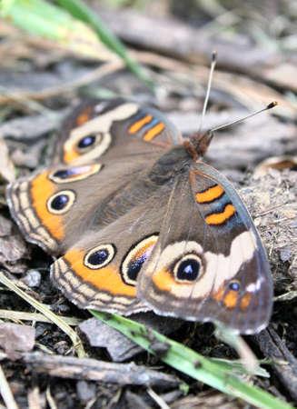 Buckeye butterfly resting among organic debris.