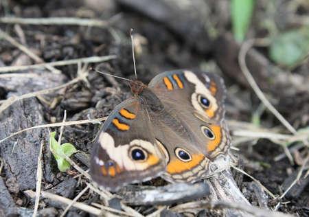Buckeye butterfly resting among organic debris. Focus is on the eye.