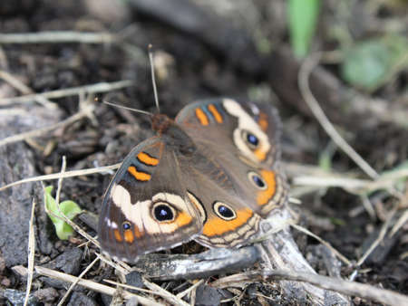 Buckeye butterfly resting among organic debris. Focus is on the front eyespot. Stock Photo