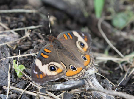 flit: Buckeye butterfly resting among organic debris. Focus is on the rear eyespot.