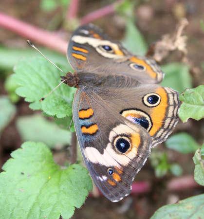 Buckeye butterfly resting on leaves.