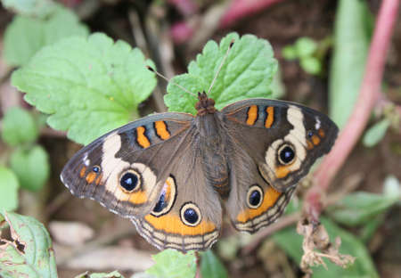 Buckeye butterfly resting on leaves. Stock Photo - 15506284