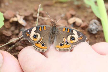 flit: Buckeye butterfly resting on my toes.