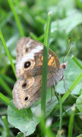 Buckeye butterfly resting in the grass.