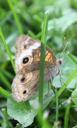 flit: Buckeye butterfly resting in the grass.