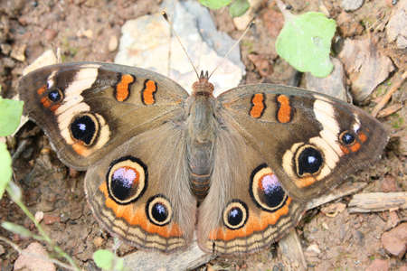 Buckeye butterfly resting on the ground. Stock Photo