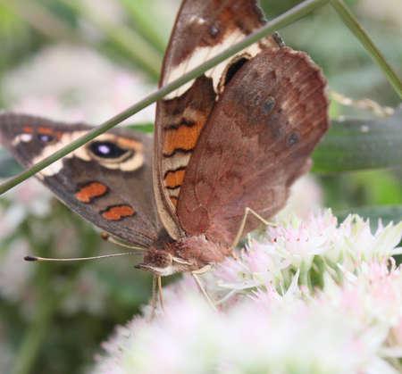A buckeye butterfly feeding on flowers.