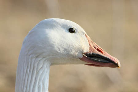 Head of a snow goose. Stock Photo