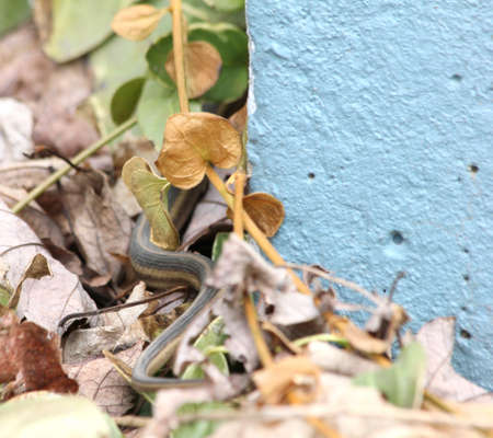 Garter snake slithering away from the camera.