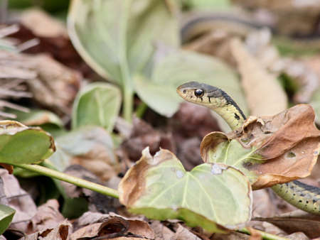Garter snake peeking out from leaves. Stock Photo