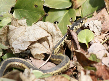 A garter snake among leaves.