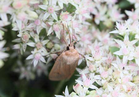 Eine Motte Trinken Aus Kleinen Weißen Blüten Lizenzfreie Fotos ...