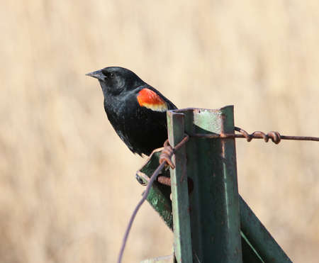 red winged: Male red-winged blackbird
