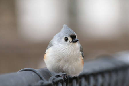 A perky tufted titmouse checking out the camera  写真素材