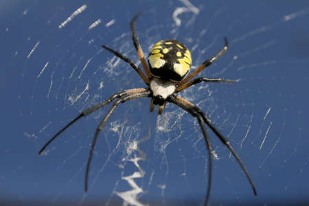 argiope: Looking up at a sunlit female black & yellow argiope in her web. Stock Photo