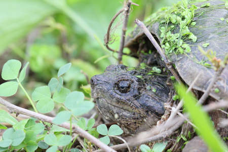 snapping turtle: Snapping turtle with twigs and clover.