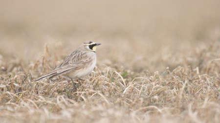 horned: Horned lark in dray grass.