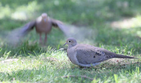 luto: Luto palomas en la hierba.