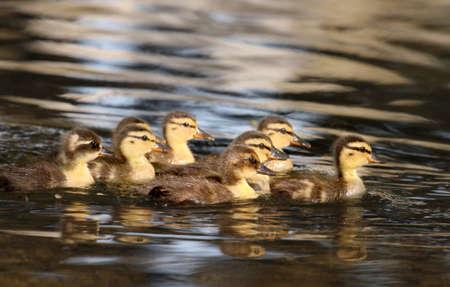 baby ducks: Baby ducks swimming in water.